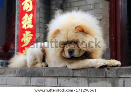 chow lying on the street on the background chinese characters - stock photo