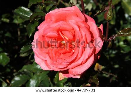 Christchurch Botanic Gardens (New Zealand). Susan Devoy cultivar, hybrid tea rose (Waiheke x Las Vegas). - stock photo