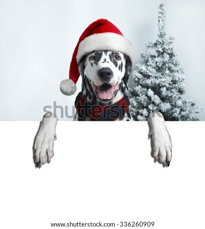 Christmas and New Year. Dalmatian Dog in Santa hats on a background of snow-covered trees. space for your text ads. - stock photo