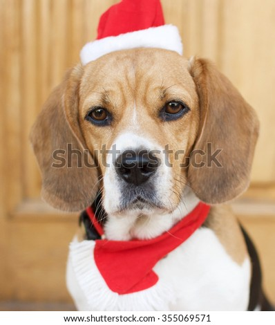Christmas beagle - stock photo