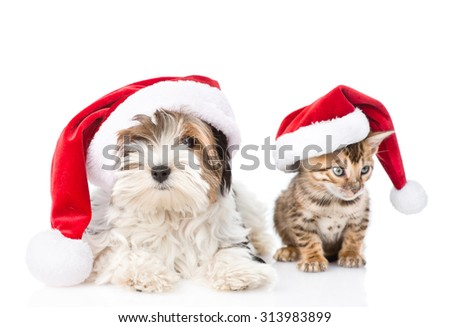 Christmas Bengal cat and Biewer-Yorkshire terrier puppy in red santa hat. isolated on white background - stock photo