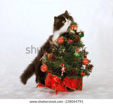Christmas black and white Persian kitten hugging holding onto small Christmas tree on white fake faux fur background  - stock photo