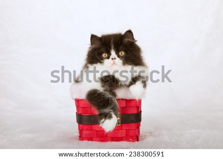 Christmas black and white Persian kitten sitting inside red Santa pants basket on white fake faux fur background - stock photo