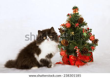 Christmas black and white Persian kitten with miniature Christmas tree on white fake faux fur background - stock photo