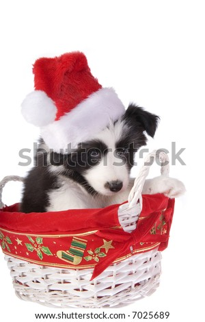 Christmas Border Collie puppy isolated on white background - stock photo