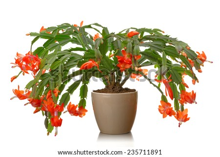 Christmas cactus on a white background. Schlumbergera.  - stock photo