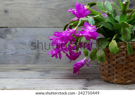 Christmas Cactus (schlumbergera) in pink, gray wooden background, copy space - stock photo