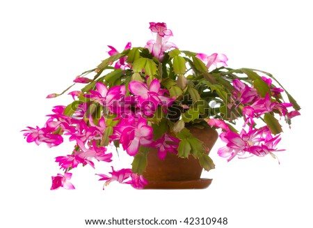 Christmas Cactus (zygocactus truncatus) flowering in pot