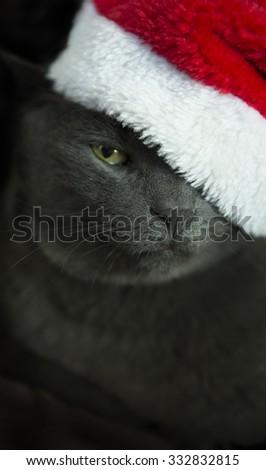 Christmas Cat - Gray Cat Santa, Christmas Pet with Santa Claus Hat. Funny Gray Cat Santa - Cute Christmas Cat. - stock photo