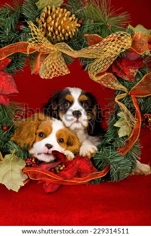 Christmas Cavalier King Charles Spaniel puppies lying inside Christmas wreath against dark red background  - stock photo