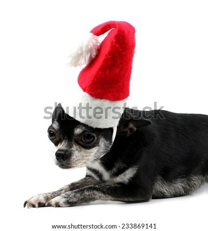 Christmas chihuahua  isolated on white background - stock photo