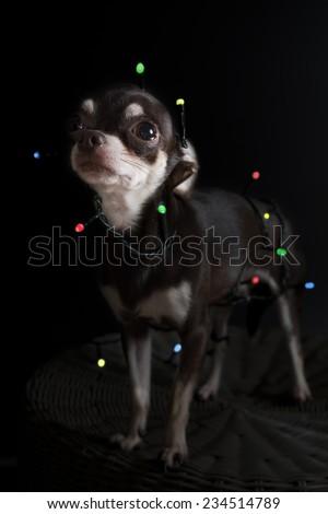 Christmas chihuahua portrait - stock photo