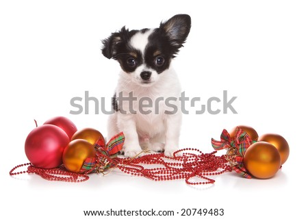 Christmas chihuahua puppy on white - stock photo