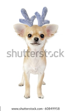 Christmas chihuahua puppy - reindeer isolated on white background - stock photo