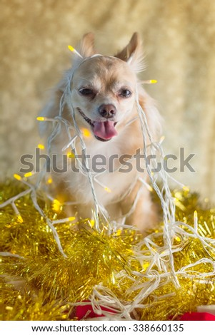 Christmas chihuahua puppy with decorating lights - stock photo