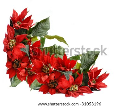 Christmas corner border background with a thick arrangement of bright red artificial poinsettia blossoms and green leaves isolated on white. with room for text, great for card design - stock photo