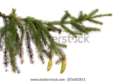 Christmas decoration isolated on the white background Bare branch of Christmas fir tree - stock photo