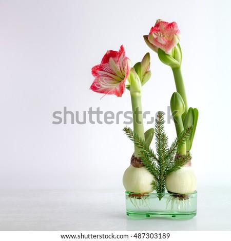 Christmas amaryllis stock images royalty free images for Amaryllis christmas decoration