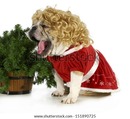 christmas dog - english bulldog female wearing blonde wig and red dress sitting beside christmas tree  - stock photo