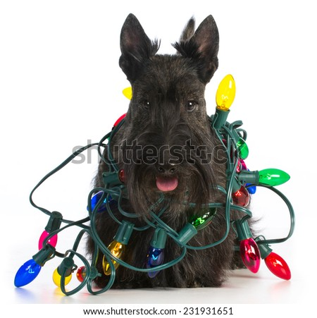 christmas dog - scottish terrier tangled in colorful christmas lights on white background - stock photo