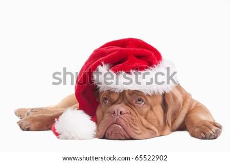 Christmas Dog With Santa Hat Isolated - stock photo