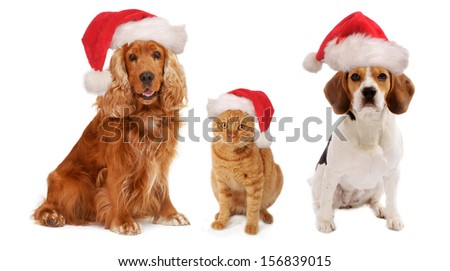 Christmas Dogs and cat together, with Santa hat on the head, isolated on white background,  - stock photo