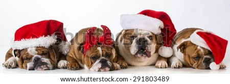 christmas dogs - cute Chrismas concept with one bad santa - stock photo