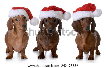 christmas dogs - three miniature dachshunds wearing santa hats on white background - stock photo