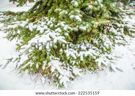 Christmas evergreen spruce tree with snow - stock photo