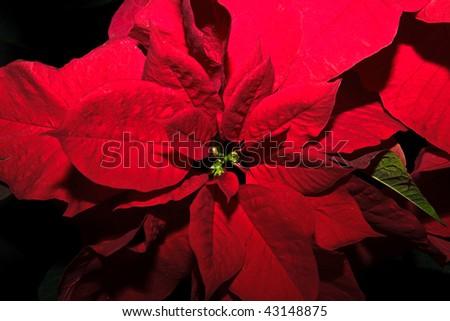 christmas flower - stock photo