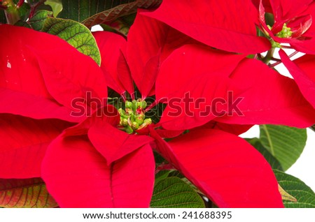 Christmas flower closeup on white background