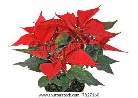 Christmas flower isolated on white
