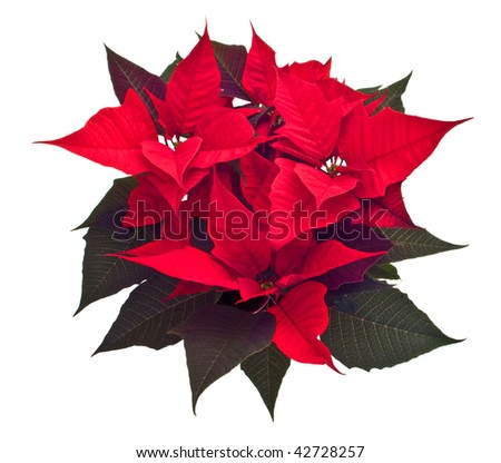 Christmas flower isolated with clipping path - stock photo