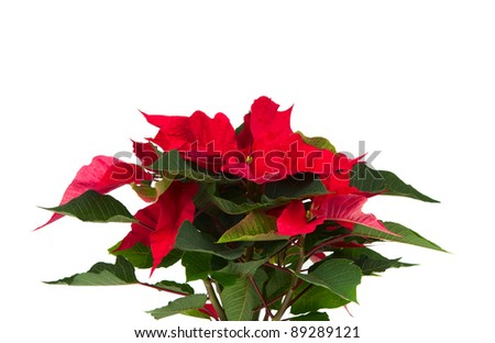 Christmas flower on a white background