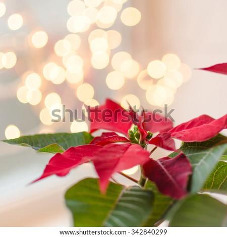 Christmas flower poinsettia indoor on defocused lights background - stock photo