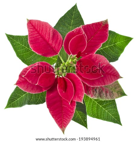 christmas flower poinsettia isolated on a white background - stock photo