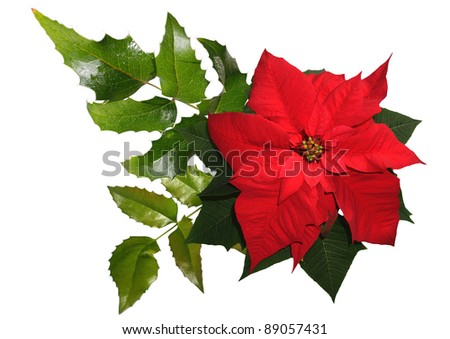 christmas flower - red poinsettia and mahonia isolated on the white background - stock photo
