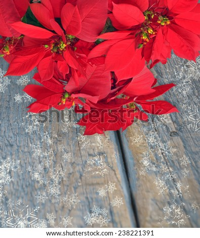 Christmas flower red poinsettia on wooden background  - stock photo