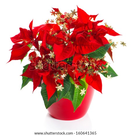 christmas flower red poinsettia with golden decoration on white background - stock photo