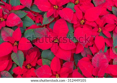 Christmas Flowers, Poinsettias with green and red leaves. - stock photo