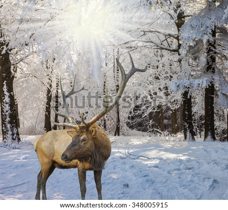 Christmas forest in the snow. Early morning in forest glade with traces of skis. Red deer antlered went for a walk - stock photo