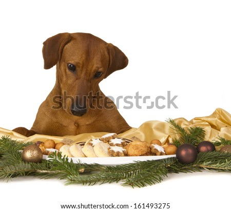 Christmas fun: Christmas decoration with fresh home baked christmas cookies is about to become destroyed and eaten by the dog, a purebred red German Pinscher. - stock photo