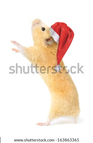 Christmas hamster isolated on white background - stock photo