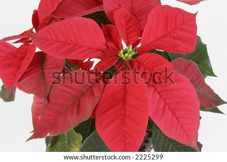 Christmas holidays plants red green poinsettia