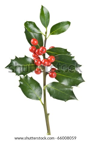 Christmas Holly Isolated on White - stock photo