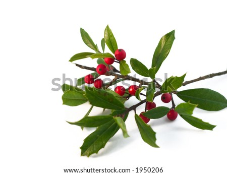 christmas holly isolated on white (natural) - stock photo