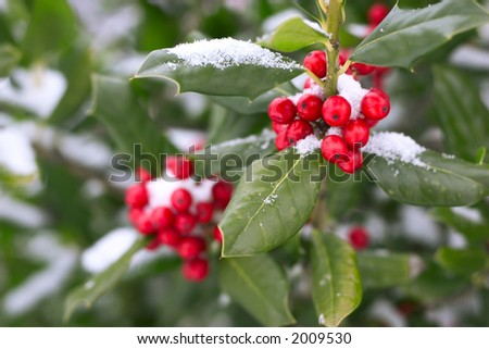 christmas holly under snow - stock photo