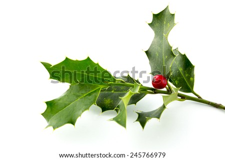 Christmas Holly, with bright red berrie - stock photo