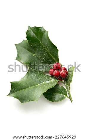 Christmas Holly, with bright red berries covered in snow - stock photo