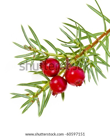 christmas juniper branch with red berries isolated on white - stock photo